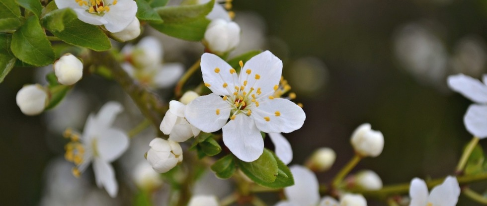 LPEFB fb Cherry Plum - Prunier Myrobolan