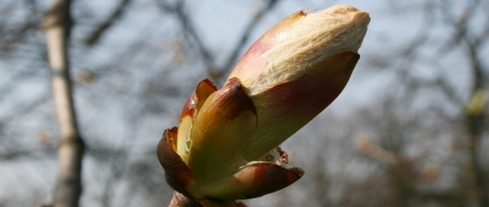 LPEFB fb Chestnut Bud - Bourgeon de marronnier