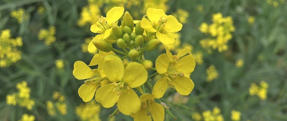 LPEFB fb Mustard - Moutarde