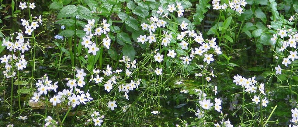 LPEFB fb Water Violet - Violette d'eau