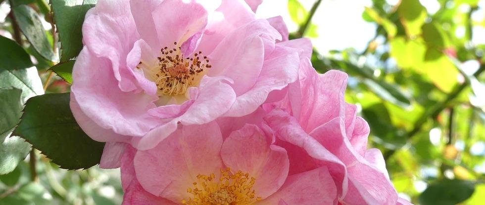 LPEFB fb Wild Rose - Eglantier