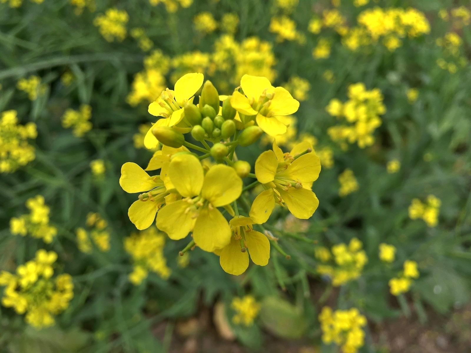 LPEFB fs-mustard