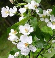 LPEFB gf Cherry Plum - Prunier Myrobolan