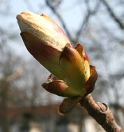 LPEFB gf Chestnut Bud - Bourgeon de Marronnier