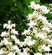 LPEFB gf White Chestnut - Marronnier blanc