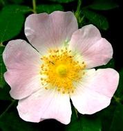 LPEFB gf Wild Rose - Eglantier