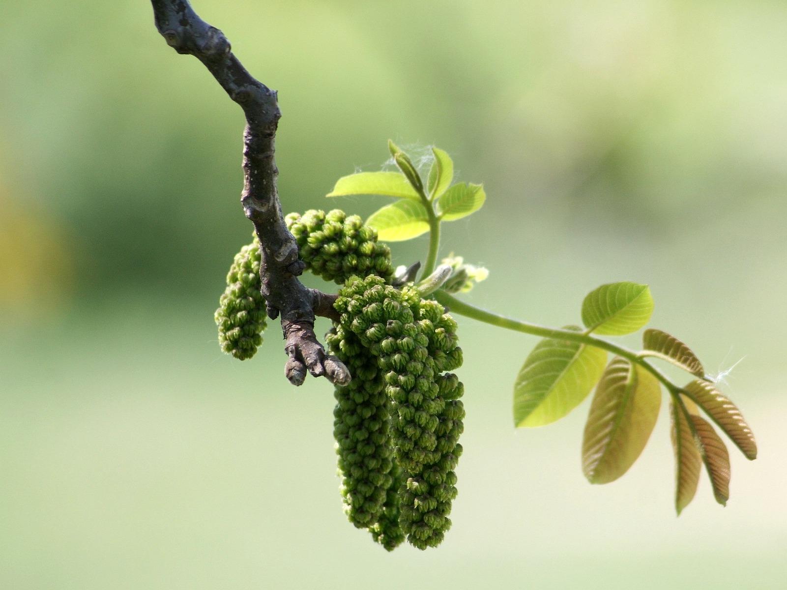 LPEFB walnut noyer