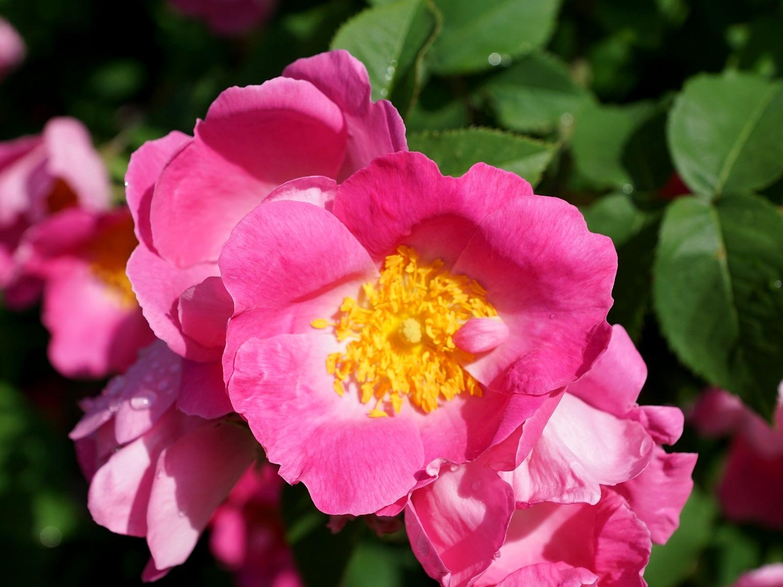 LPEFB wild rose eglantier