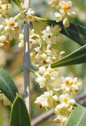 LPEFB Olive