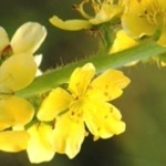 LPEFB- Fleurs de Bach Agrimony