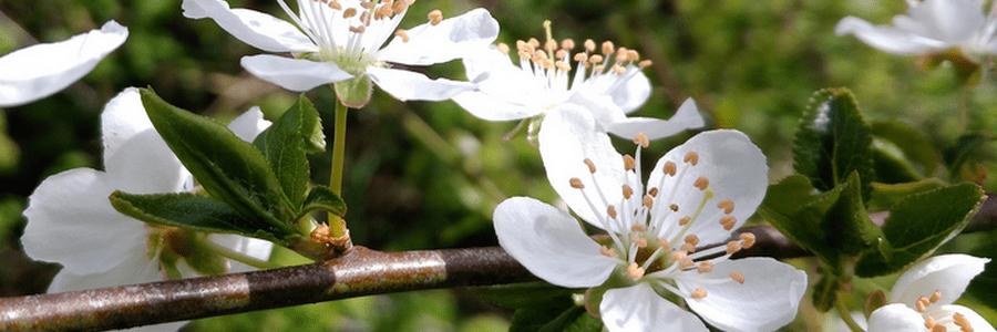 LPEFB Fleurs de Bach Cherry Plum