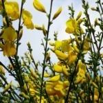 LPEFB- Fleurs de Bach Gorse