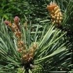 LPEFB Fleurs de Bach Pine