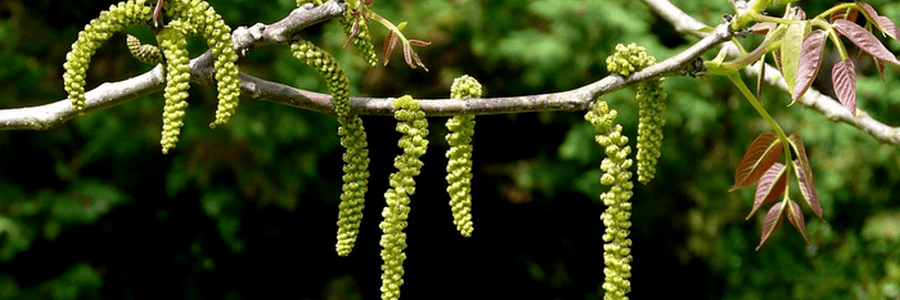LPEFB Fleurs de Bach Walnut