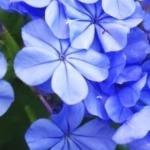 LPEFB- Fleurs de Bach Cerato